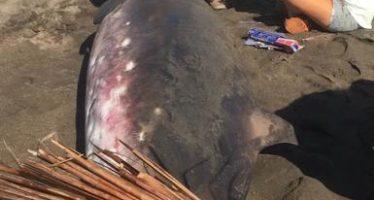 Atienden varamiento de ballena picuda pigmea en Colima