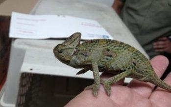 Rescatados 30 ejemplares de camaleón de velo