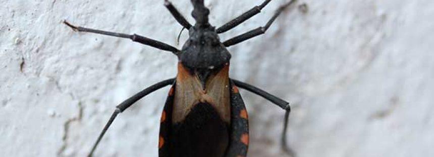 Científicos de la UNAM y la UAEM desarrollan fungicida para control de la chinche (Meccus pallidipennis) que transmite enfermedad de Chagas