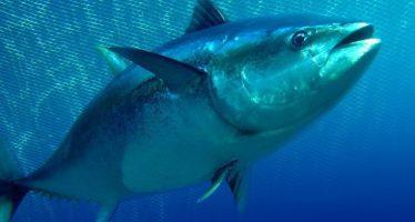 México cumple con captura sustentable de atún aleta azul (Thunnus orientalis) en el océano Pacífico Oriental