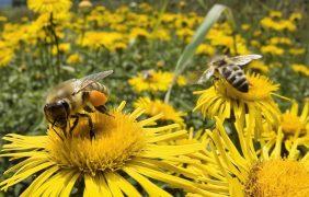 """La destrucción del hábitat y pesticidas, amenazan a las abejas con un riesgo """"apocalíptico"""" para el medio ambiente"""