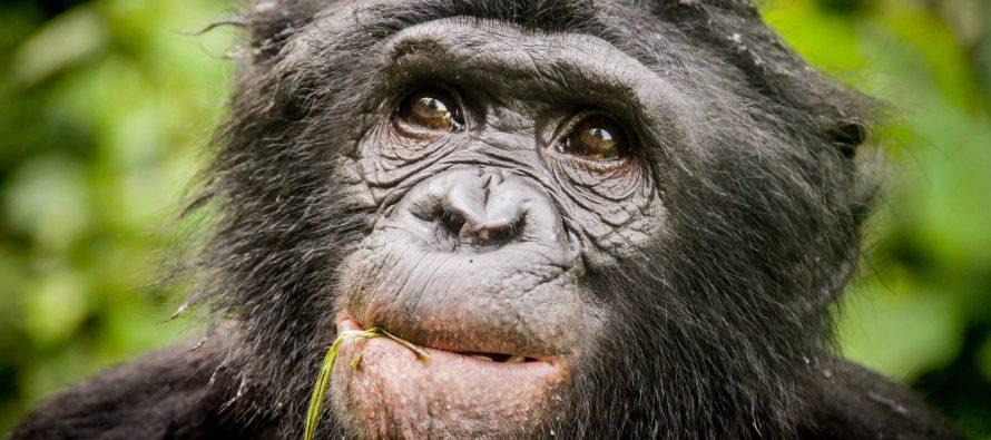 El ADN desvela una nueva especie de chimpancé extinto
