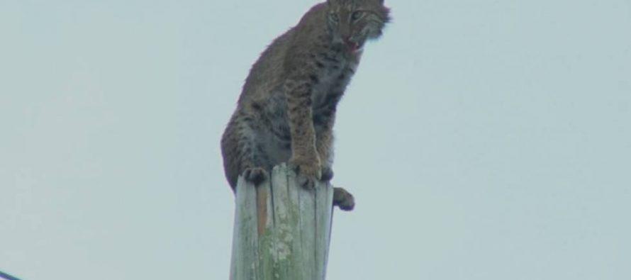 El rescate de un gato montés encaramado a un poste de la luz