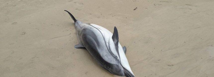 Hallados 14 delfines muertos en una playa de Cantabria