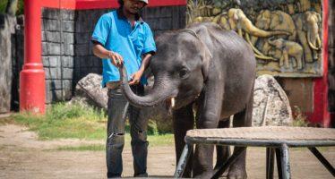 La triste muerte de Dumbo, una cría de elefante con malnutrición severa del zoo de Phuket