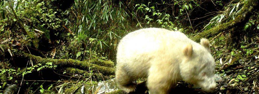 Avistado un oso panda albino en una reserva china