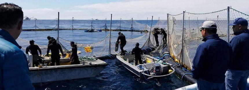 En compensación por la sobrecaptura de la temporada 2018, liberan 245 toneladas de atún aleta azul