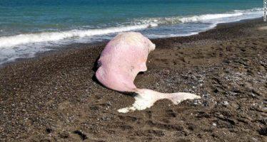 Encuentran a un cachalote en Sicilia con el estómago lleno de plástico