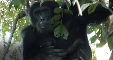 El jefe chimpancé que acunó a la bebé en lugar de matarla