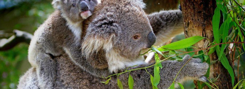 El koala podría estar «funcionalmente extinto» en Australia, según una ONG