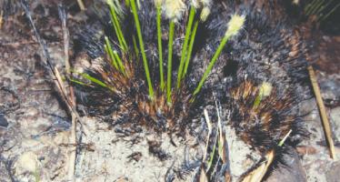 Esta es la única planta del mundo que inicia su floración 24 horas después de un incendio