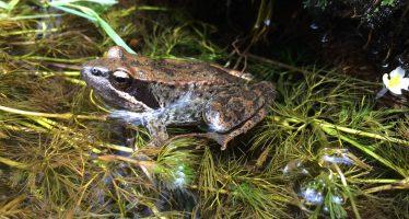 La rana ibérica vence a la trucha en Peñalara