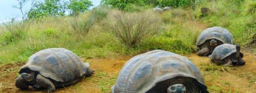 Las tortugas gigantes migran de manera impredecible ante el cambio climático