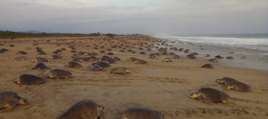 Continúan las acciones de protección para la tortuga golfina