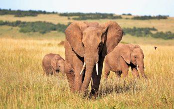 La pobreza de unos y la riqueza de otros, mata a los elefantes