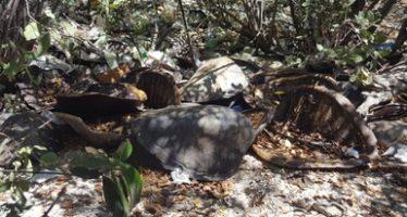 Denuncian en hallazgo de restos de tortugas marinas en Sinaloa