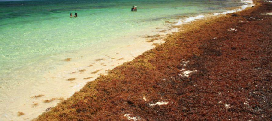 Mar del Caribe en riesgo por el sargazo