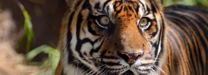 Bangladesh combate el furtivismo con fuerzas de élite para elevar su población de tigres