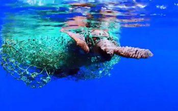 La tortuga 'Guerrero' vuelve al mar después de tres meses de recuperación