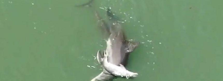 Los intentos de una hembra de delfín por mantener a flote el cuerpo de su cría muerta