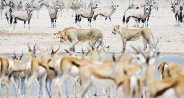 Namibia subasta 500 búfalos, 60 jirafas y 28 elefantes por la sequía