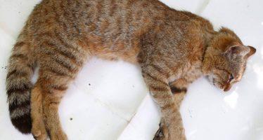 El gato-zorro, la nueva especie felina que investigadores franceses creen haber descubierto