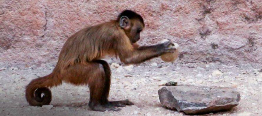 Un linaje de monos lleva tres milenios adaptando herramientas