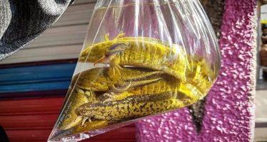 Tráfico de ajolotes en Tlaxcala; 100 pesos la docena