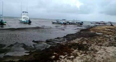 El sargazo (Sargassum sp) invade el Caribe mexicano y provoca pérdidas por más de 200 MDD en la Riviera Maya