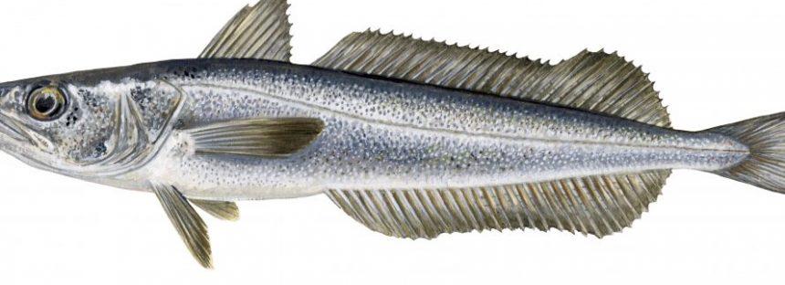 Gobierno mexicano incluye como pesquería nueva la captura de merluza (Merluccius productus) en el Pacífico norte