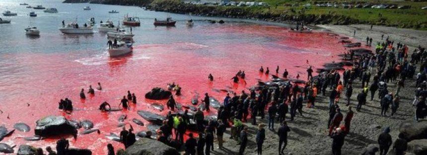 La brutal matanza de ballenas que tiñe de rojo el mar de las Islas Feroe