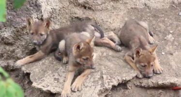 Nacen en el Museo del Desierto de Coahuila, tres crías de lobo gris mexicano (Canis lupus baileyi)