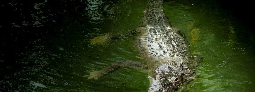 Reunión mundial de expertos en cocodrilos en el 2020 tendrá su sede en México
