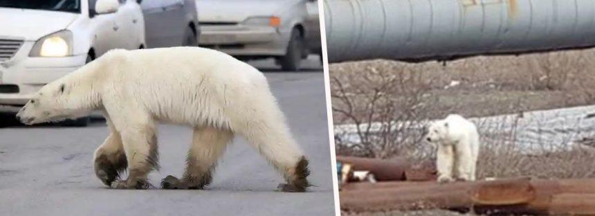 Un oso polar herido aparece en la ciudad de Siberia, a cientos de millas de su hogar