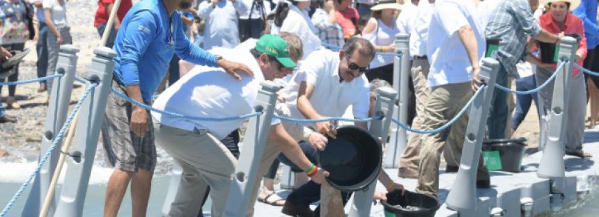 En medio de la crisis financiera, la UABC avanza en repoblamiento de totoaba en el Mar de Cortés; han liberado 133 mil crías