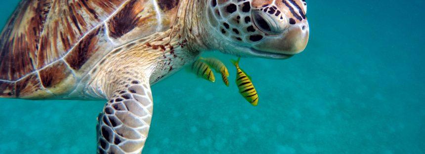 Seis de las siete especies de tortugas marinas están en peligro de extinción