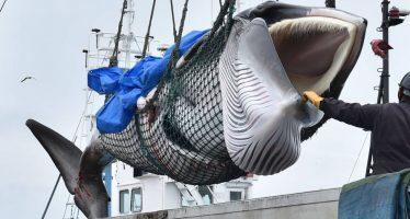 Japón vuelve a cazar ballenas con fines comerciales después de 30 años de moratoria