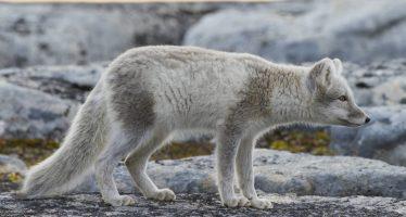 El largo viaje de una zorra ártica: de Noruega a Canadá en 76 días