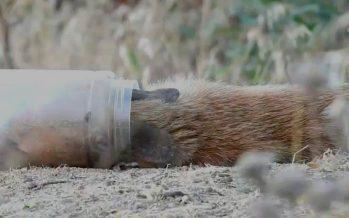 Así salvaron al zorro con la cabeza atrapada en un bote de plástico