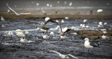 Un brote de botulismo en L'Albufera deja 331 aves muertas y 64 enfermas