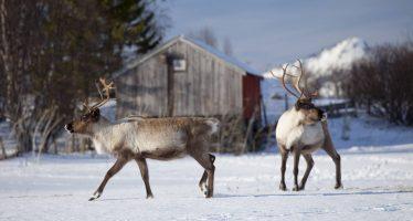 El cambio climático causa la muerte por hambre de 200 renos en unas islas noruegas