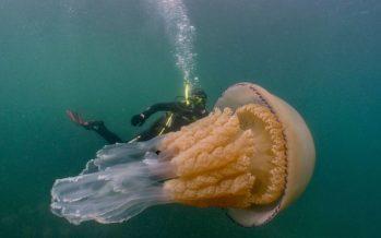 Medusas de 1,5 metros descubiertas frente a la costa de Cornualles