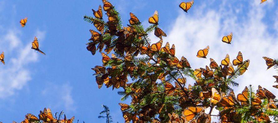 Migración asistida (siembra a mayor altura) de oyamel (Abies religiosa), para preservar a la mariposa monarca (Danaus plexippus)