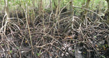 El comercio de carbono impulsa a la conservación de los manglares