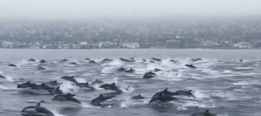 Un centenar de delfines rodea a un barco en el sur de California
