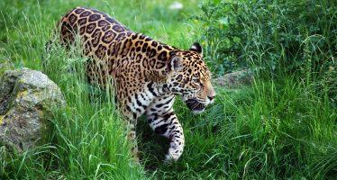 Brasil procesará a cazador que habría matado 1.000 jaguares en 30 años