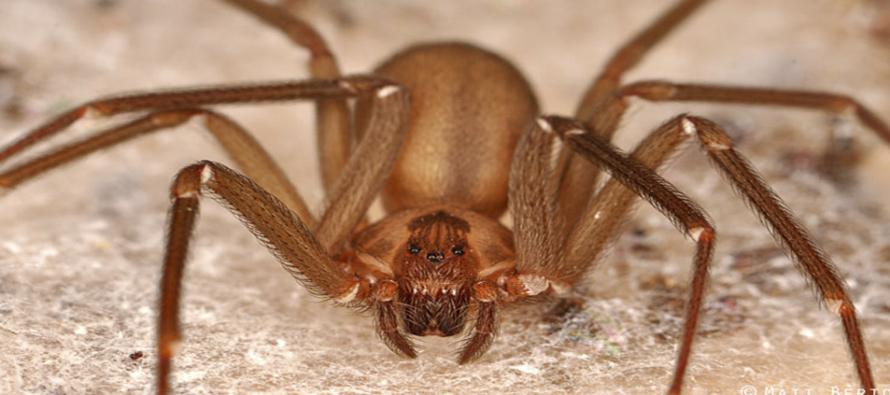 Ya está a la venta antídoto para picadura de araña violinista: es de realización mexicana