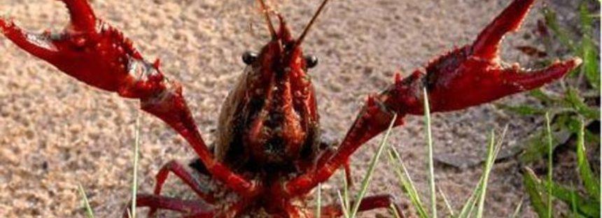 El cangrejo rojo americano incrementa la infección del dañino hongo quitridio