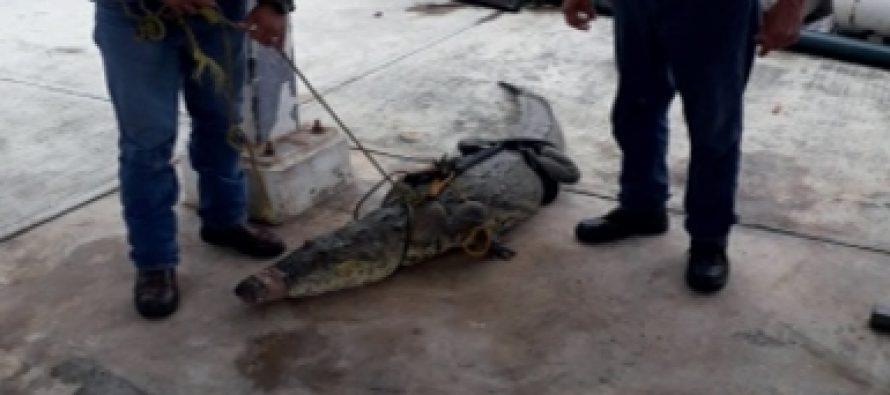 Capturan dos cocodrilos y los reintegran a su hábitat en Tamaulipas