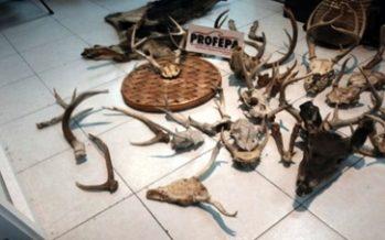 Aseguran 31 partes derivados de vida silvestre en un tianguis